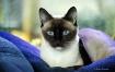 Miko, The Siamese...