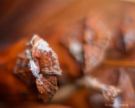Close Pine Cone