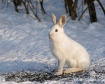 Snowshoe Hare in ...