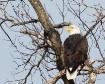 Oklahoma Eagle