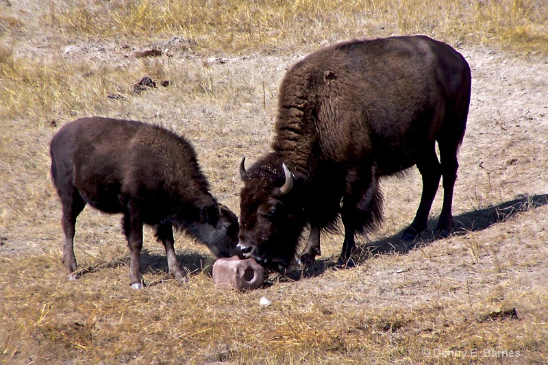 National Bison Range, MT - ID: 11385018 © Denny E. Barnes