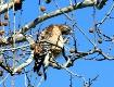 Red Shoulder Hawk