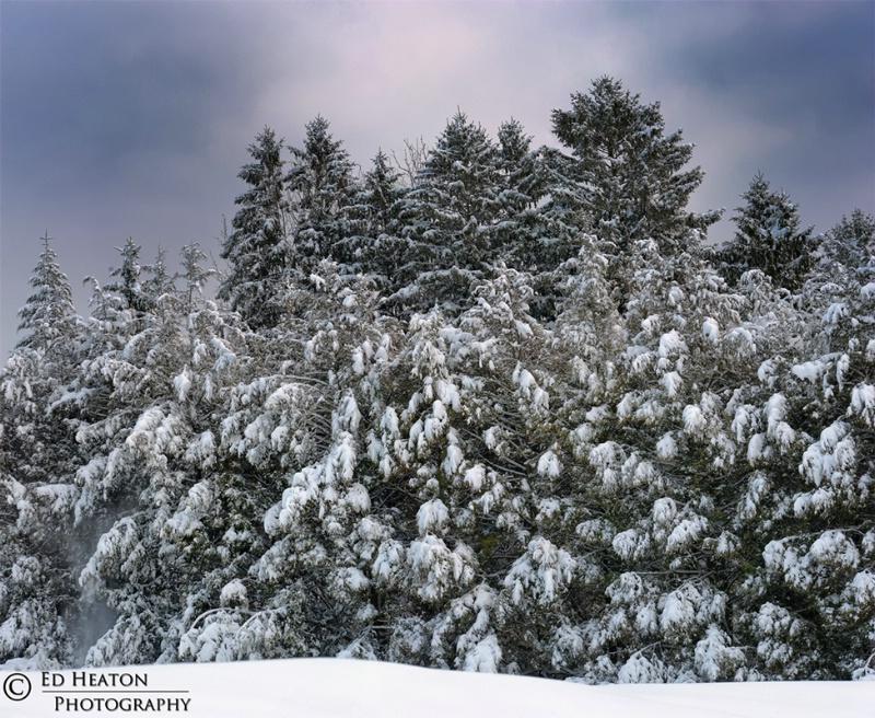 Snowy Pines - Pano