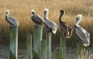 Sitting Pelicans