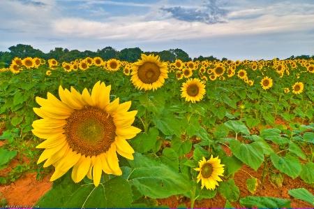 Sunflower Morning