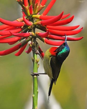 Sunbird (2)
