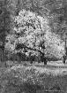 Black Oak in Autu...