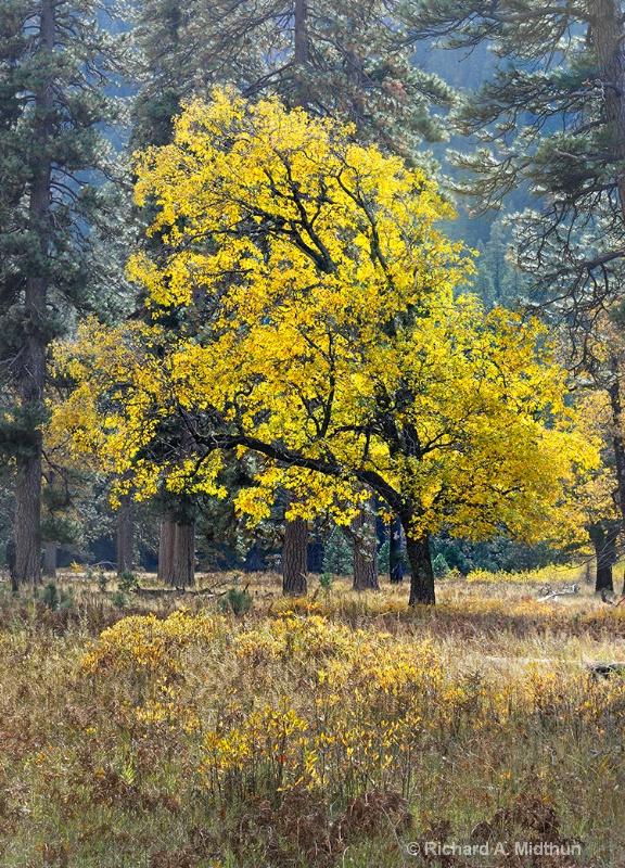 Black Oak in Autumn