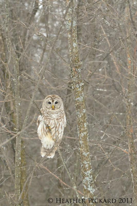 Winter Barred Owl