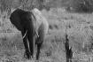 Elephant, South L...