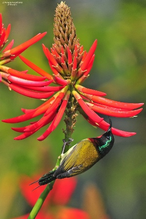 Sunbird with red flowers