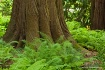Ferns & Cedar, Mi...