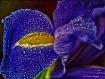 Iris in Snow Stor...