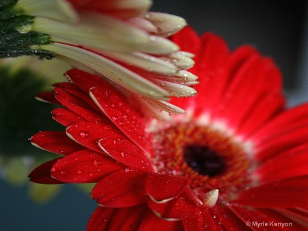 Red and White Gerbera Daisies
