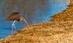 brown ibis dsc 04...