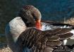 goose dsc 0421