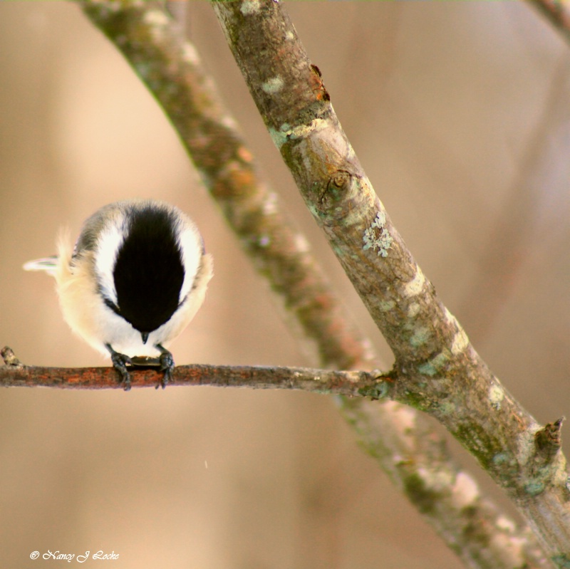 Praying Chickadee