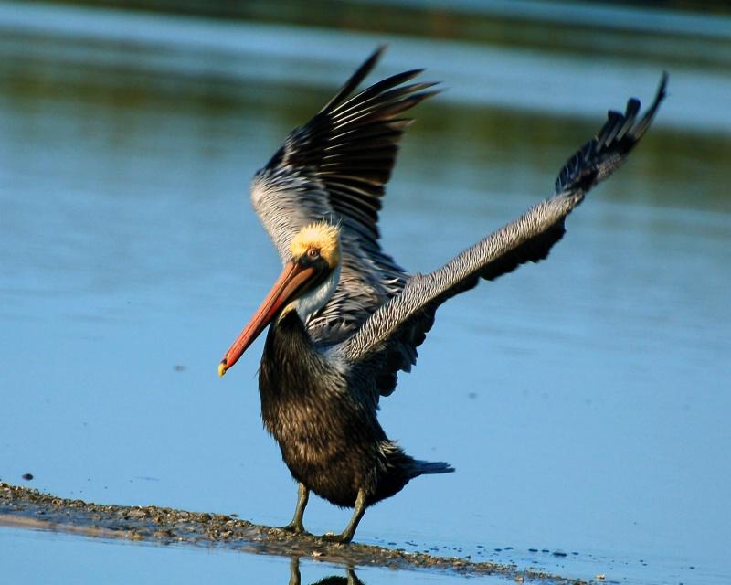 Brown Pelican Landing, by Kyle Zurbriggen - ID: 11442195 © Rick Zurbriggen