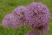 ~Allium~