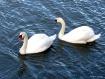 Swans In Lyme Har...