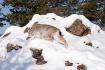 Lynx on the Move