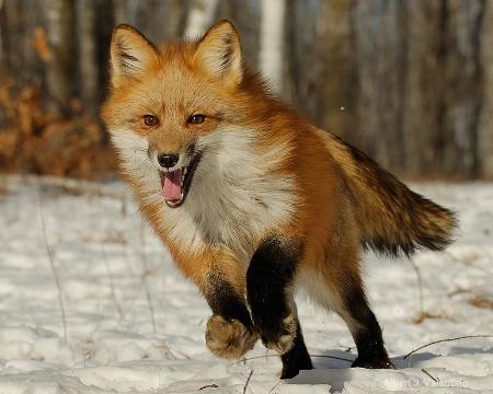 Red Fox - 102
