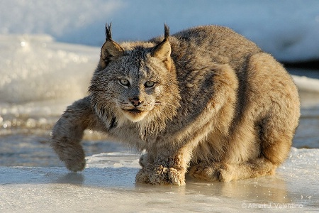 Lynx - 77