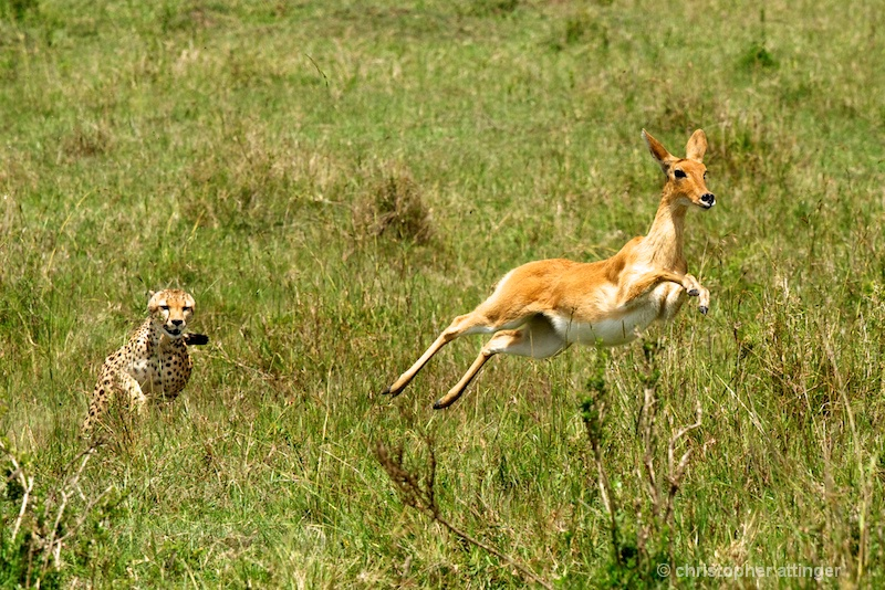 DSC_4607 Cheetah chasing reedbuck - ID: 11467095 © Chris Attinger
