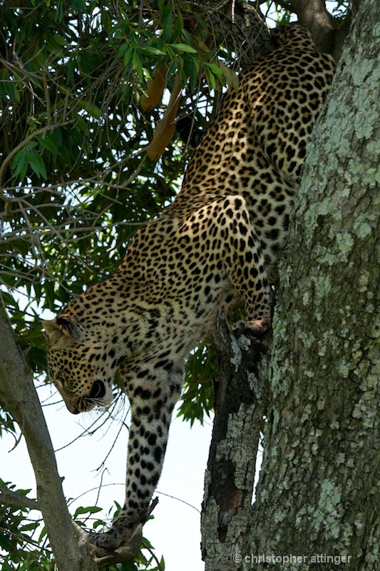 DSC_9384 Leopard descending tree - ID: 11467169 © Chris Attinger