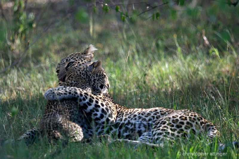 DSC_9654 Leopard mother & cub - ID: 11467201 © Chris Attinger