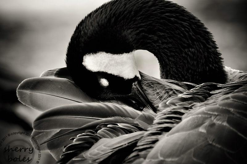 grooming goose
