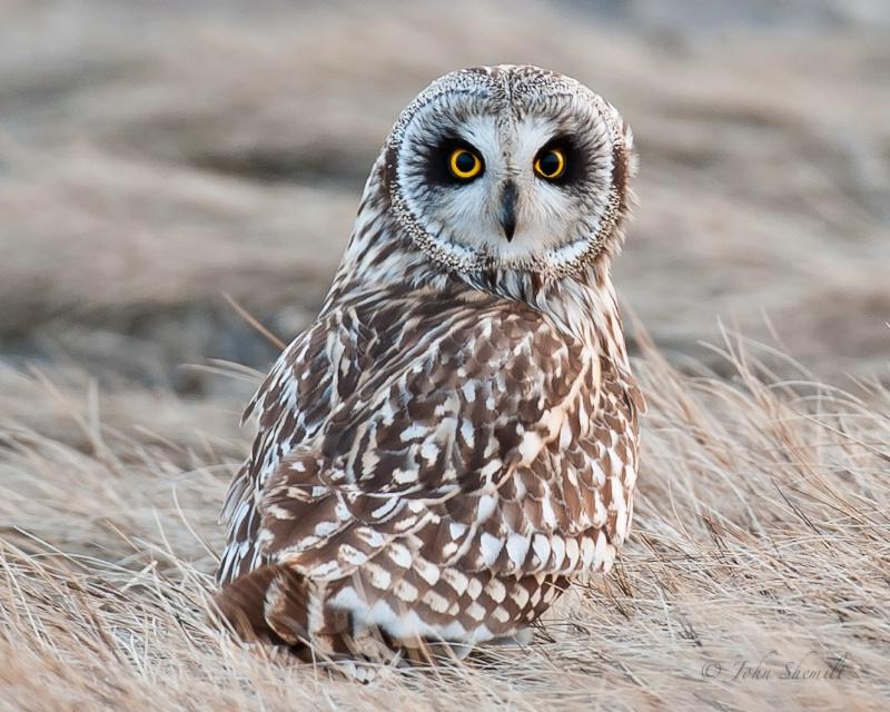 Short-eared Owl - Feb 18th, 2011 - ID: 11474977 © John Shemilt