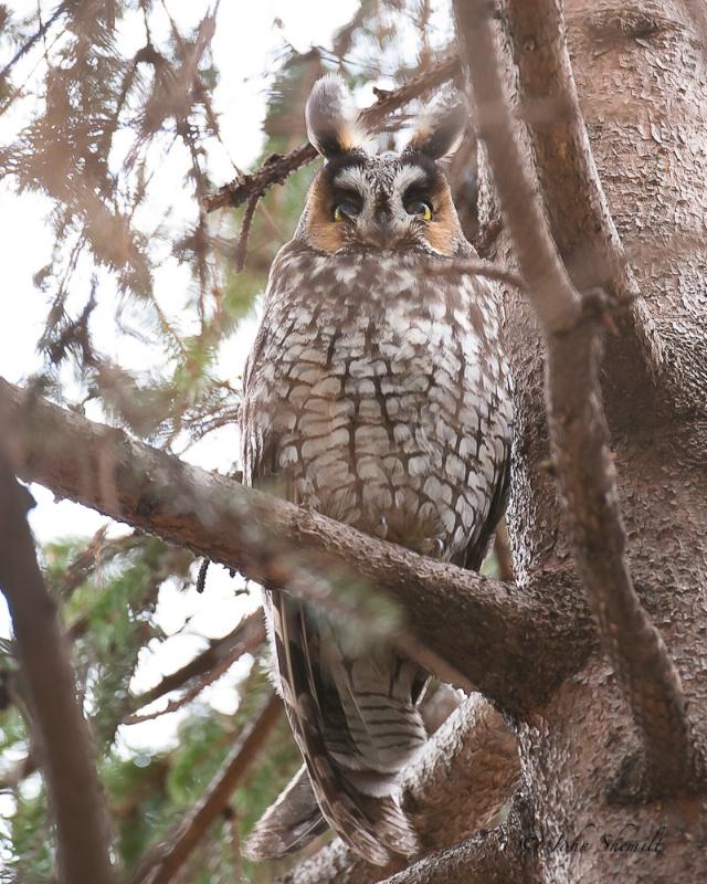 Long-eared Owl - Feb 17th, 2011 - ID: 11474983 © John Shemilt