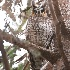© John Shemilt PhotoID# 11474983: Long-eared Owl - Feb 17th, 2011