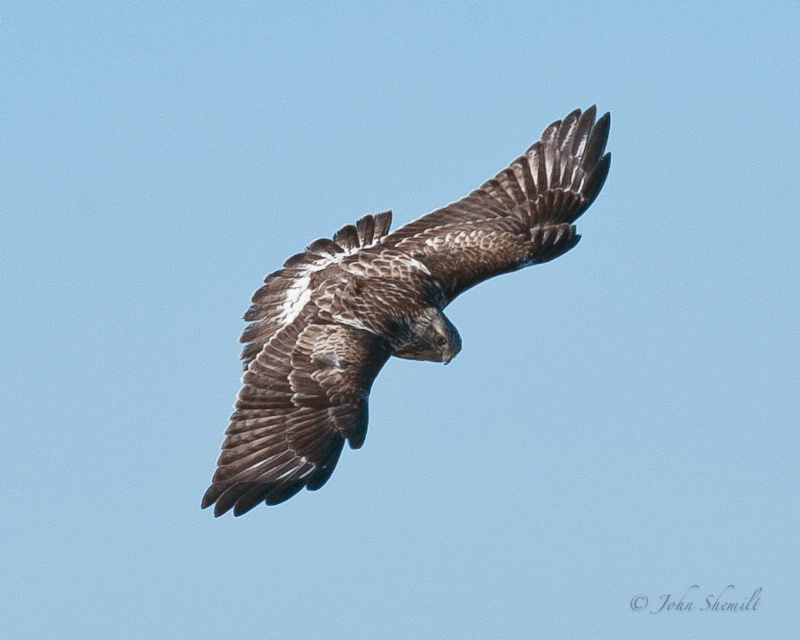 Rough-legged Hawk - Feb 22nd, 2011 - ID: 11476905 © John Shemilt