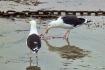 Black Backed Gull...