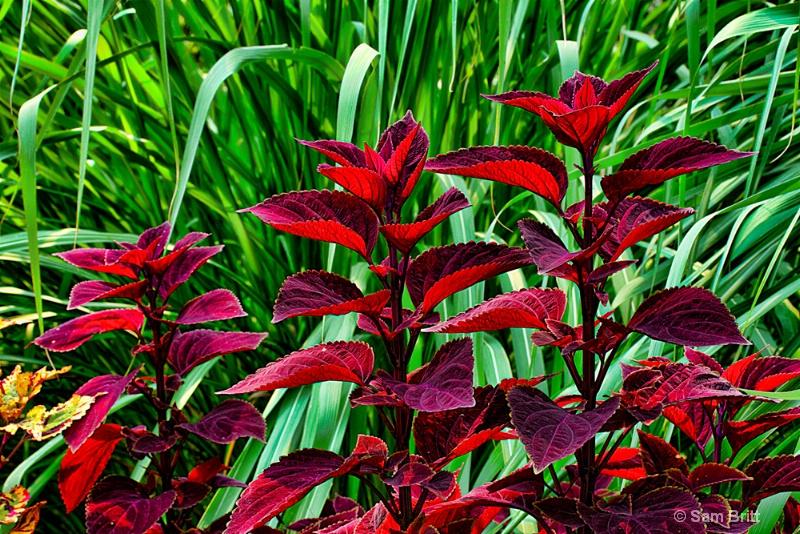 Coleus and Garden Grass