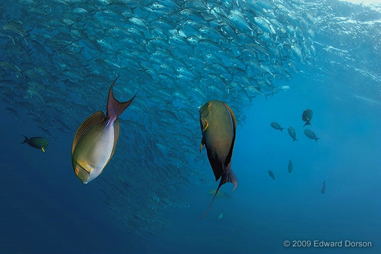 Surgeonfish Pair with Schooling Jacks - ID: 11489175 © Edward Dorson