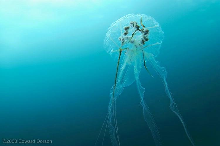 Jellyfish 2 - ID: 11489210 © Edward Dorson