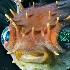 © Edward Dorson PhotoID # 11489228: Porcupinefish