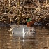 © John Shemilt PhotoID# 11494288: Green-winged Teal -  Mar 1st, 2011