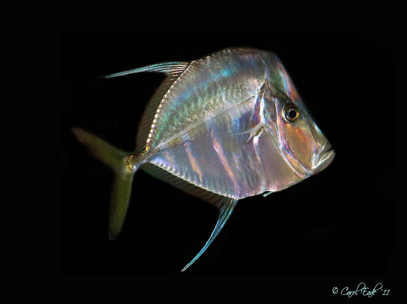 Look-Down Angel Fish - ID: 11497897 © Carol Eade