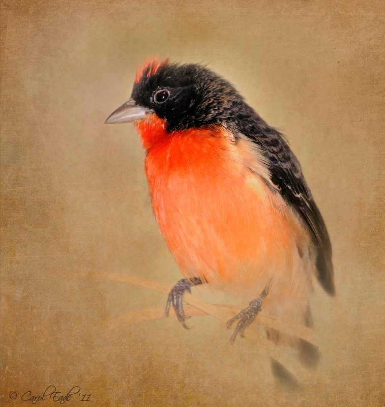 Crimson Finch - ID: 11502694 © Carol Eade
