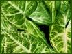 * Shades of Green...