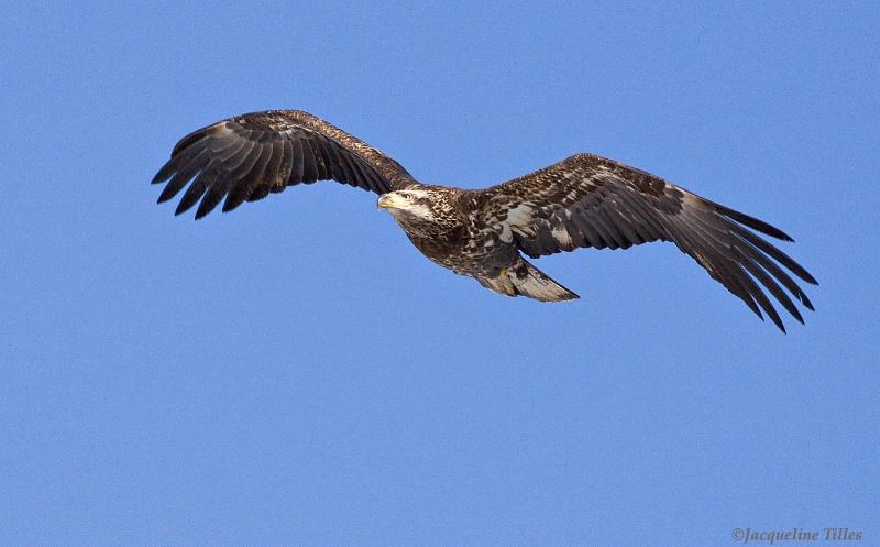 Juvenile Bald Eagle - ID: 11518053 © Jacqueline A. Tilles