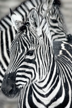 Winter Zebra Pattern