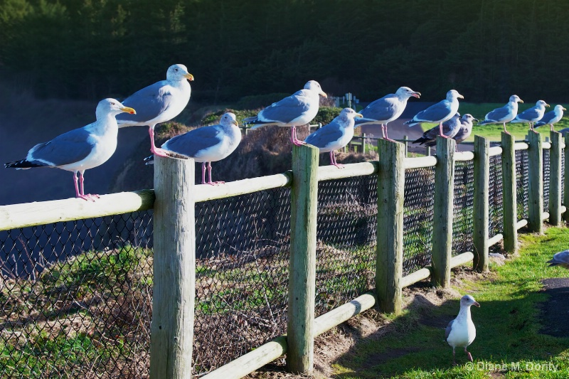 Seagulls on Fence