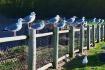 Seagulls on Fence