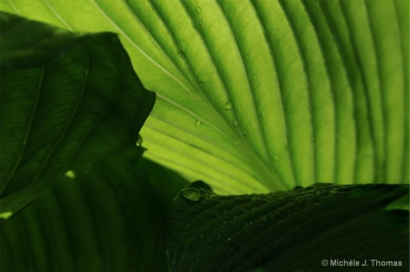 Hosta Shadows and Rain Drops ! - ID: 11525235 © Michèle J. Thomas
