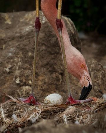 Egg of Flamingo
